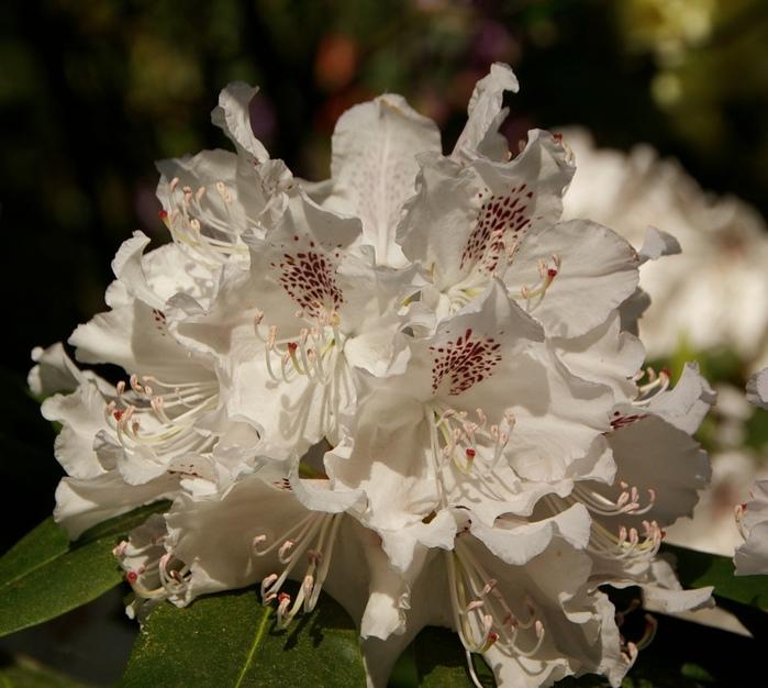 Рододендроновый парк-Westerstede Rhododendronpark. 47211