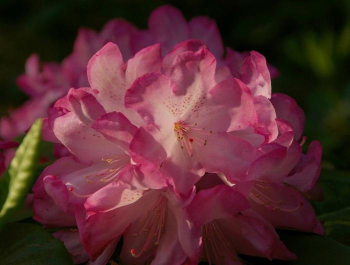 Рододендроновый парк-Westerstede Rhododendronpark. 64003