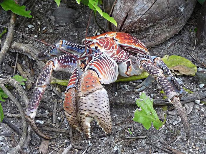 1. Повстречать их можно на островах Индийского океана и на некоторых западных тихоокеанских островах. Пальмовые воры ведут ночной образ жизни, а в солнечное время скрываются в расщелинах скал или в песчаных норках (700x525, 119Kb)