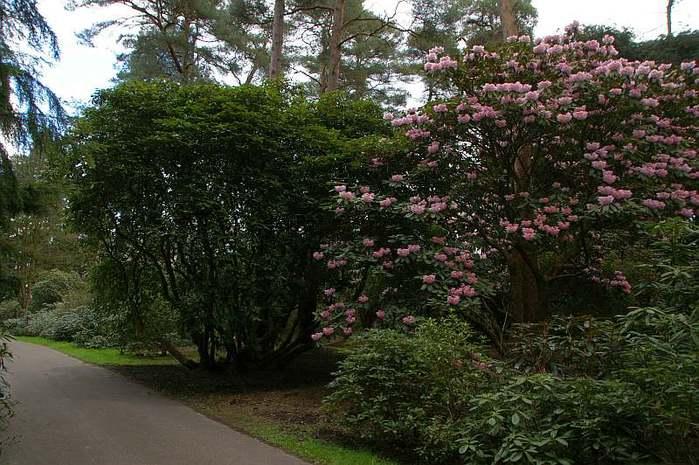 Рододендроновый парк-Westerstede Rhododendronpark. 43765