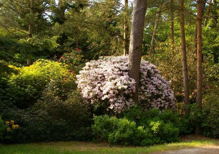 Рододендроновый парк-Westerstede Rhododendronpark. 57326