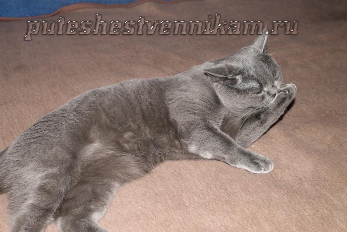 кот британец (700x467, 147Kb)