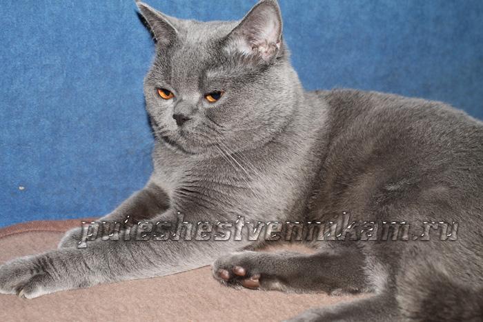 Британец кот (700x467, 163Kb)