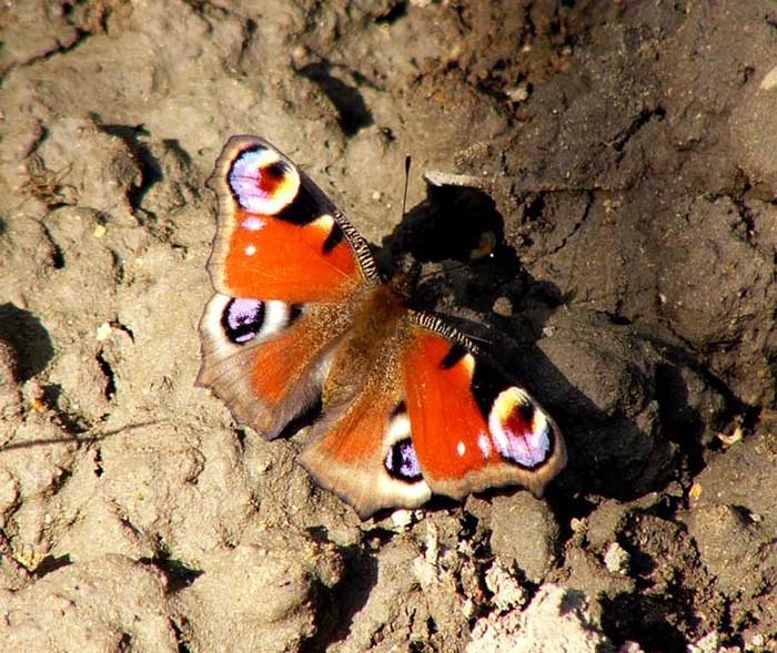 бабочки (700x589, 159Kb)
