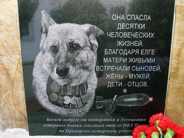 Занимательные истории о животных ,фото... - Страница 14 97230263_large_3185107_ovcharka_elge