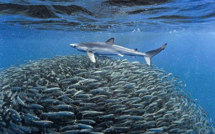 акула фото (700x437, 95Kb)