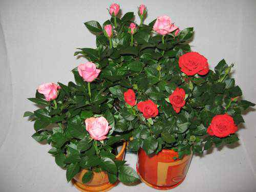 комнатные-розы (500x375, 21Kb)