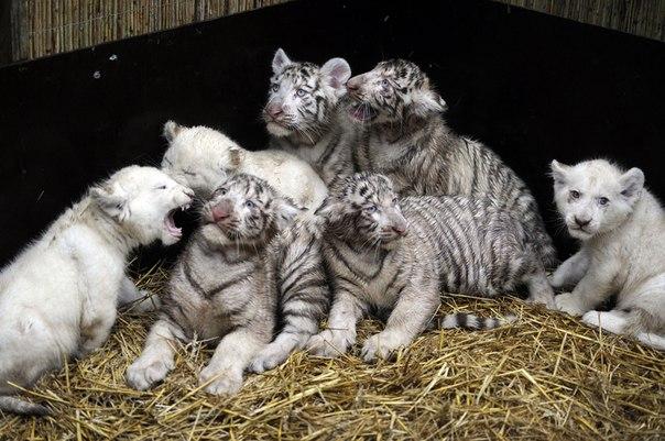 белые львы и тигры фото 1 (604x401, 74Kb)