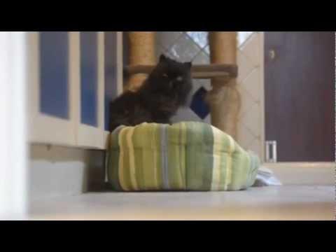 В Британии персидский кот Кэффри, лишившийся левых лап в результате несчастного случая, научился балансировать на правых конечностях./3518263_fff (480x360, 11Kb)