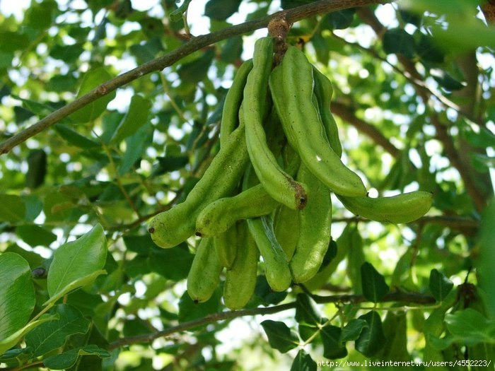 4552223_Ceratonia_siliqua_green_pods_1_ (700x525, 214Kb)
