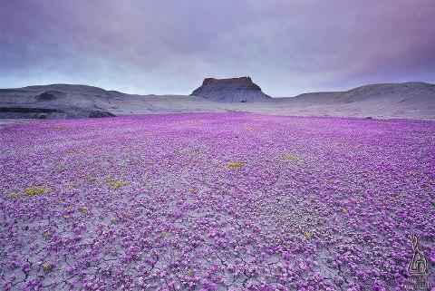 Цветущая пустыня Анза Боррего, Калифорния (480x321, 58Kb)