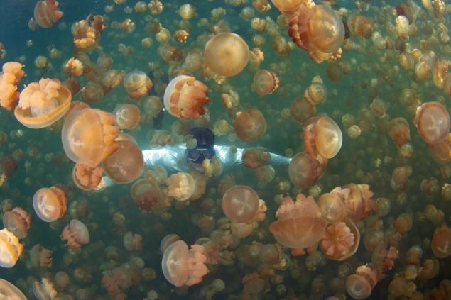 Необыкновенное  озеро медуз находится на архипелаге Палау в Тихом океане - фото 6