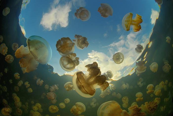 Необыкновенное  озеро медуз находится на архипелаге Палау в Тихом океане - фото 8
