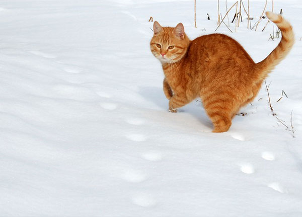 cats-and-snow-1 (600x431, 32Kb)