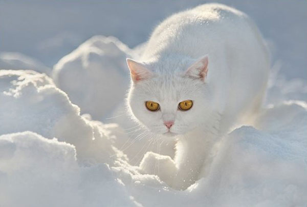 cats-and-snow-8 (600x406, 25Kb)