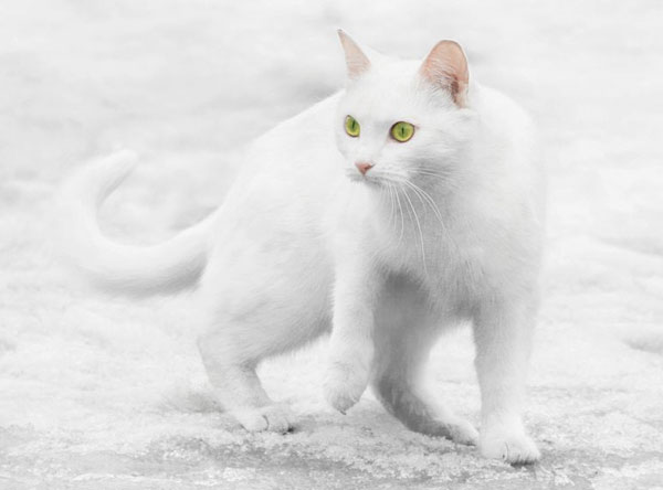 cats-and-snow-10 (600x444, 26Kb)