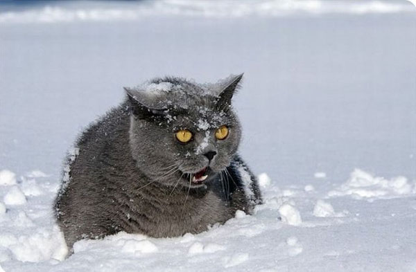 cats-and-snow-12 (600x393, 36Kb)