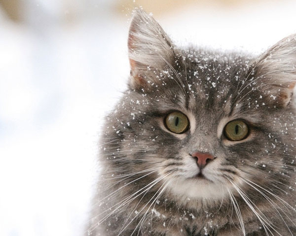 cats-and-snow-15 (600x480, 57Kb)