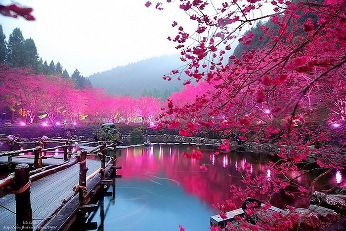 4121583_Cherry_Blossom_festival_1 (700x468, 366Kb)