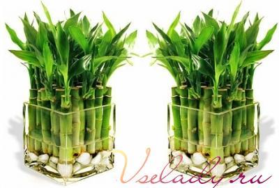 bamboo (400x270, 24Kb)