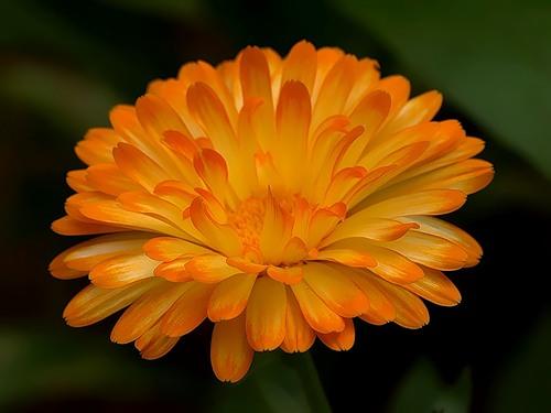 календула цветы (500x375, 36Kb)