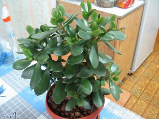 Jade-plant1-520x390 (520x390, 30Kb)