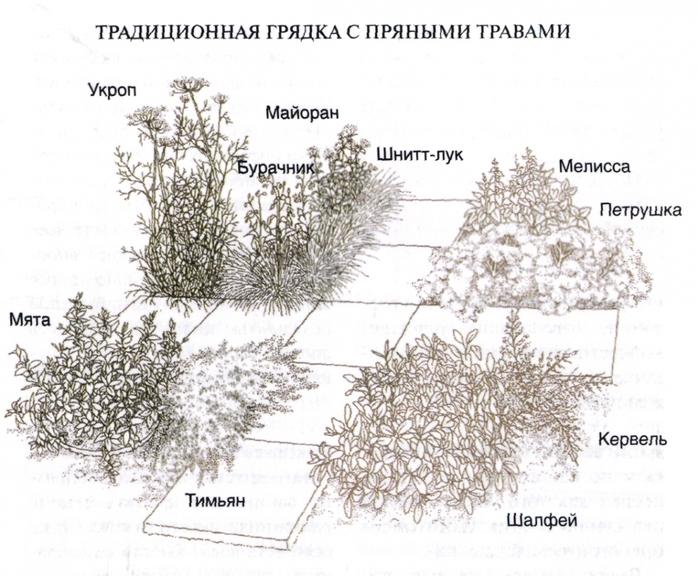 Пряные травы в саду