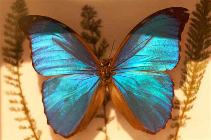 blue-morpho-pinned (700x466, 24Kb)