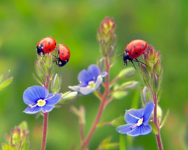 ladybugs-3 (608x486, 44Kb)