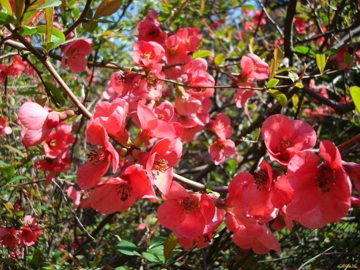 Цветок граната картинки 6