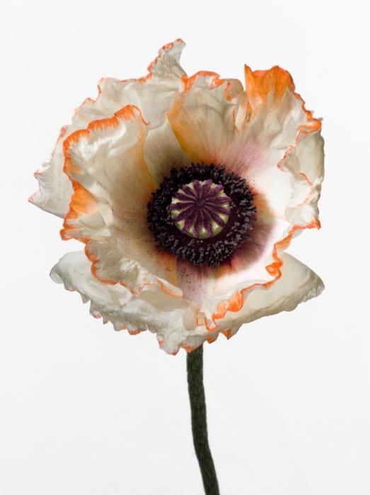 Пол Ланге цветы фото 14 (523x699, 178Kb)