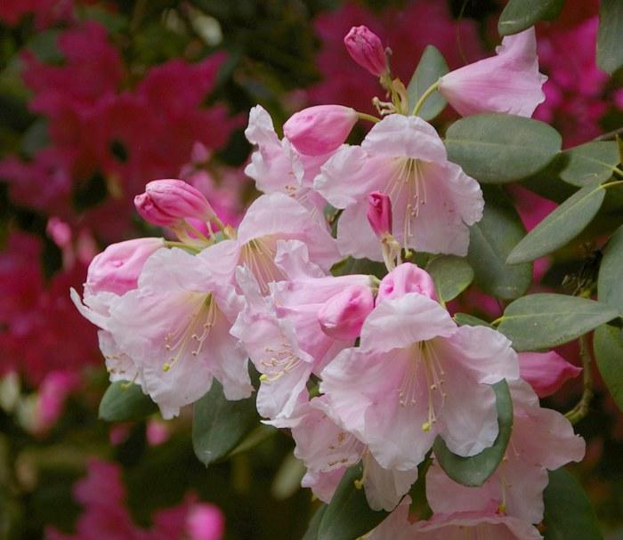 Рододендроновый парк-Westerstede Rhododendronpark. 79551