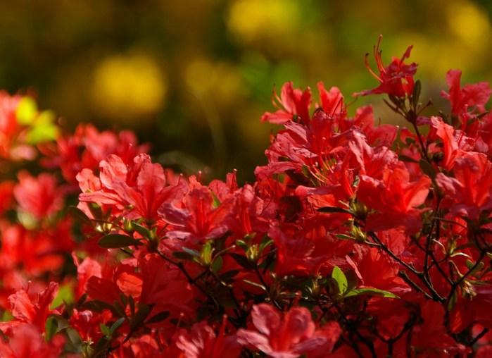 Рододендроновый парк-Westerstede Rhododendronpark. 17968