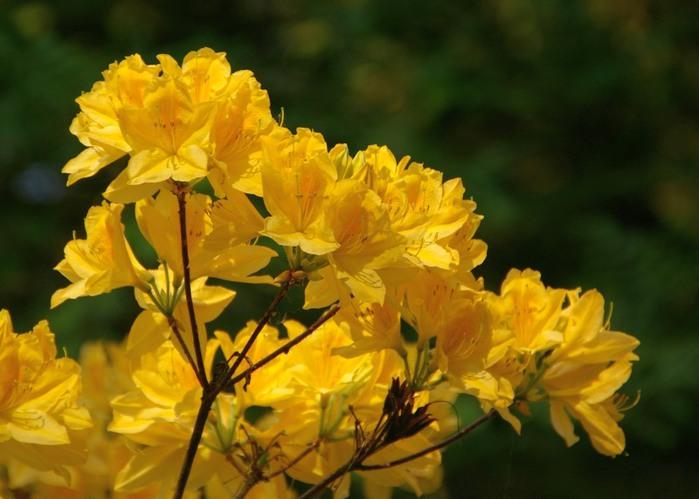 Рододендроновый парк-Westerstede Rhododendronpark. 58435