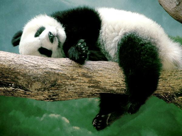 забавные панды (600x450, 99Kb)