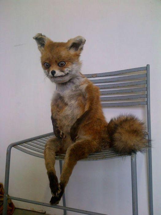 чучело сидящей лисы фото (525x700, 34Kb)