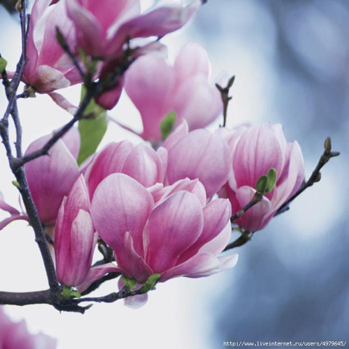Магнолия цветок картинки 6