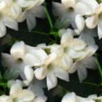 flor (25) (150x150, 25Kb)