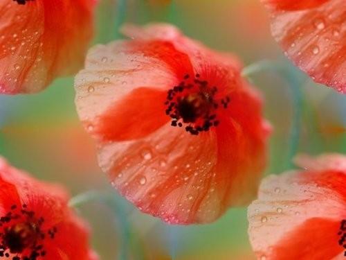 flor (139) (500x375, 33Kb)