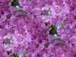 flor (65) (267x200, 34Kb)