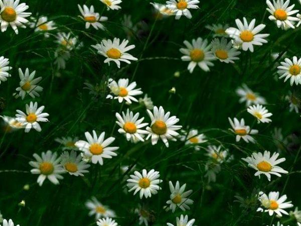flor (175) (600x450, 57Kb)