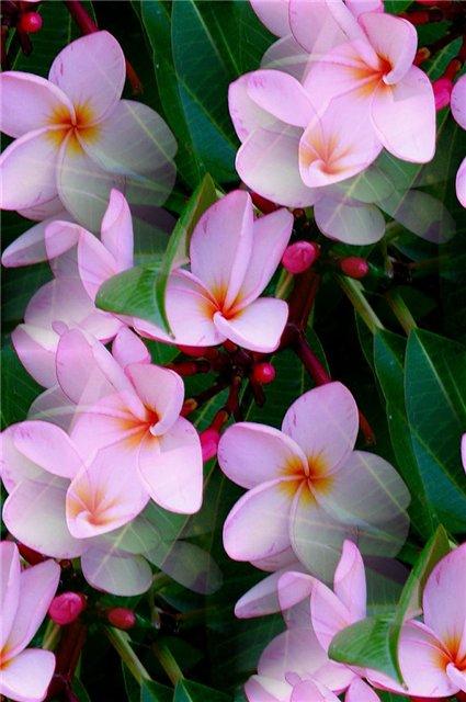 flor (96) (425x640, 58Kb)