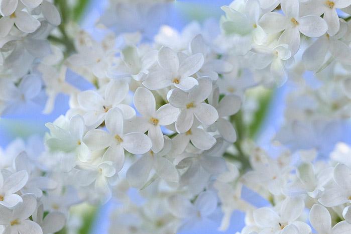 flor (250) (699x466, 69Kb)