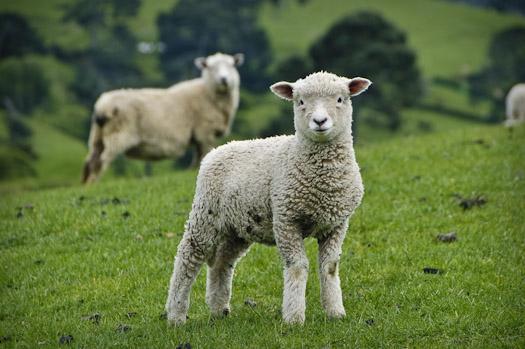 Рязанские овцы выходят на всероссийский рынок
