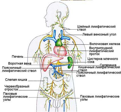 здоровье Лимфатическая-система (425x392, 38Kb)