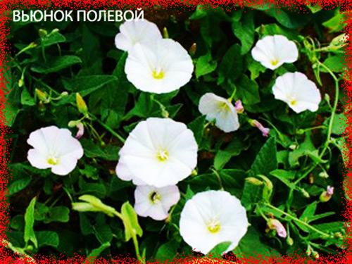 3755121_vunokpolevoi (500x375, 103Kb)