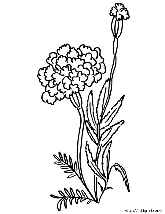 marigolds-coloring-page (540x700, 113Kb)