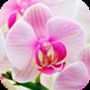 99px_ru_avatar_77850_Rozovaja_orhideja (2) (100x100, 28Kb)