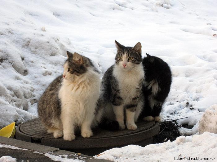Питерские котики 3 (700x525, 250Kb)