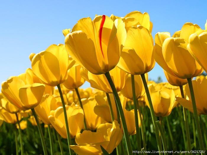 Tulips (700x525, 279Kb)